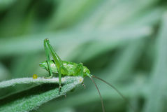 Grasshopper on a blade tip Stock Photography