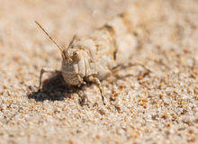 GRASSHOPPER blends IN THE SAND Royalty Free Stock Images