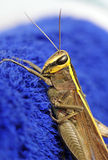 Grasshopper on blue Stock Photos