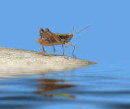 Grasshopper in blue ambiance Royalty Free Stock Image