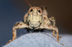 Grasshopper on Blue Jeans Stock Images
