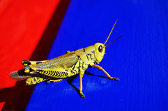 Grasshopper on Blue and Red Wood royalty free stock photos