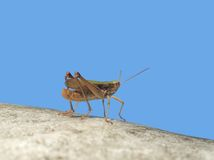 Grasshopper in blue sky Royalty Free Stock Image