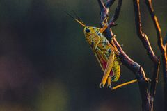Grasshopper on branch Stock Photography