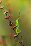 Grasshopper on branch Royalty Free Stock Photos