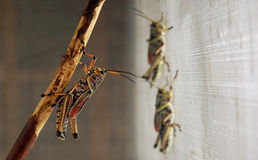 Grasshopper on Branch Royalty Free Stock Photography