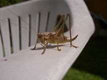 Grasshopper brown on plastic chair stock images