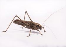 Grasshopper. Brown grasshopper on white background Stock Photos
