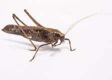 Grasshopper. Brown grasshopper on white background Stock Image