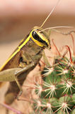 Grasshopper on cactus Stock Photo