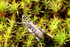 Grasshopper (Caelifera) on Green Moss Stock Images