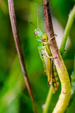 Grasshopper, Caelifera, hidden in green grass in extreme macro s Stock Images