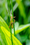 Grasshopper, Caelifera, hidden in green grass in extreme macro s Royalty Free Stock Image