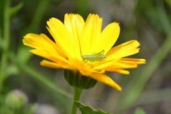 Grasshopper  on Calendula Stock Image