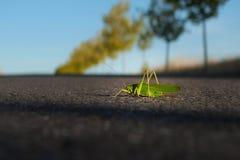 Grasshopper in Camino de Santiago. Huge green grasshopper in Camino de Santiago stock photo