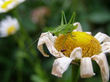 Grasshopper on camomile Stock Images