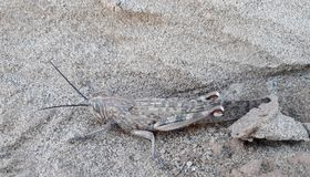 Camouflage. Grasshopper camouflage in desert stock images