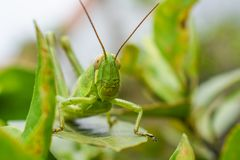Grasshopper Camouflage Royalty Free Stock Photo