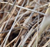 Grasshopper camouflage Royalty Free Stock Images
