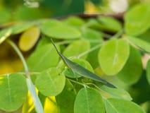 Grasshopper Camouflaged Royalty Free Stock Photos