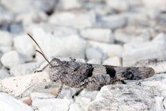 Grasshopper camouflaged Royalty Free Stock Image