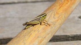 Grasshopper. On a canoe paddle Stock Image