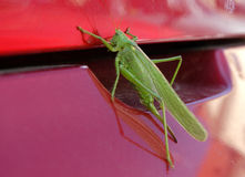 Grasshopper on car Stock Photo