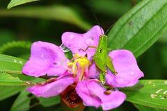 The grasshopper catch on the Melastoma Villosum Royalty Free Stock Photo
