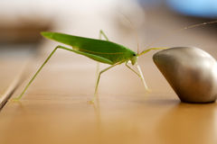 Grasshopper catching on the drawer's knob Royalty Free Stock Photo