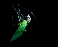 Grasshopper caught in a spider web. While the spider injects it with venom Stock Images