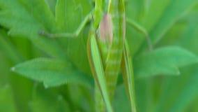 grasshopper Cavalletta sulle foglie clip Cavalletta sulla foglia della fine dell'erba su nel campo Cavalletta verde video d archivio