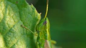 grasshopper Cavalletta sulle foglie clip Cavalletta sulla foglia della fine dell'erba su nel campo Cavalletta verde immagine stock
