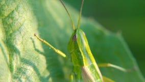 grasshopper Cavalletta sulle foglie clip Cavalletta sulla foglia della fine dell'erba su nel campo Cavalletta verde fotografia stock