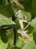 Grasshopper changing skin Stock Photo