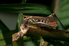 Grasshopper Chorthippus biguttulus female Stock Images