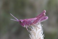 Grasshopper Chrysochraon dispar Royalty Free Stock Images