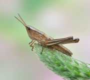 Grasshopper Chrysochraon dispar Stock Images