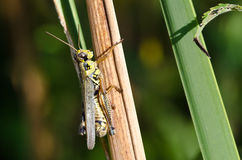 Grasshopper Clinging to a Blade of Grass Stock Photo