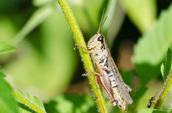 Grasshopper Clinging to a Blade of Grass Stock Photography