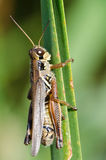 Grasshopper Clinging to a Blade of Grass Stock Images