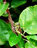 Grasshopper clings to twig. Green grasshopper clings to a twig. Obscure Bird Grasshopper, Schistocerca obscura royalty free stock images