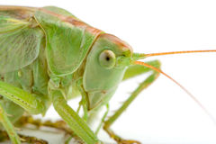 Grasshopper (clipping path included) Royalty Free Stock Photos