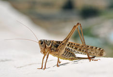 Grasshopper Stock Images