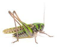 Grasshopper Close-up Royalty Free Stock Images