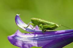 Grasshopper Close-up Royalty Free Stock Photography