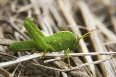 Grasshopper close up Royalty Free Stock Photo