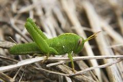 Grasshopper close up. Close up image of a grasshopper Royalty Free Stock Photo