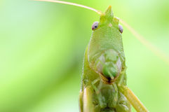 Grasshopper close-up. Beautiful model with pointy head Royalty Free Stock Photography