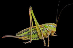 Grasshopper 25 Royalty Free Stock Images