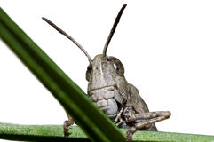 Grasshopper close up Royalty Free Stock Images